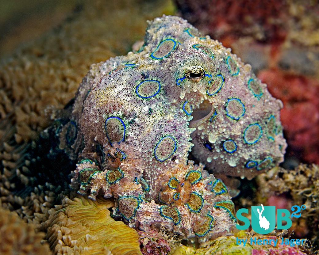 The Blue-ringed Octopus (Hapalochlaena lunulata) belongs to the most venomous marine life.