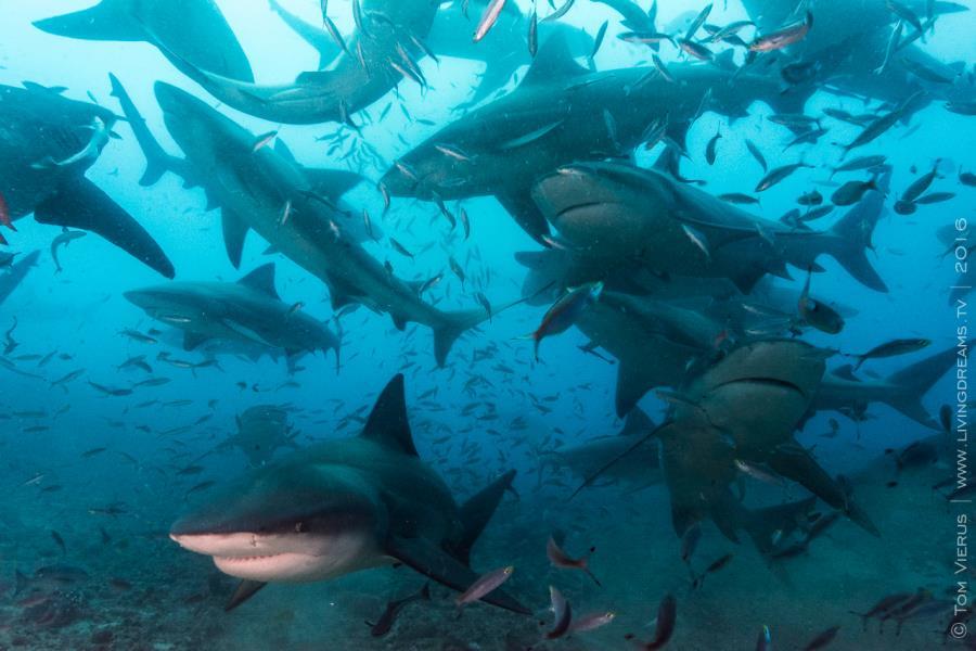 Bull Shark Chaos
