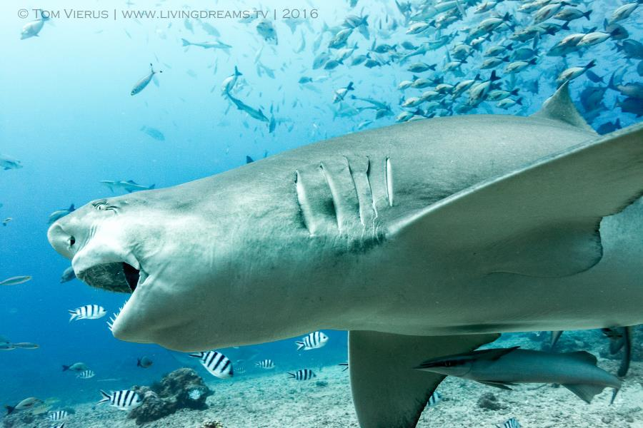 Bull Shark in Action