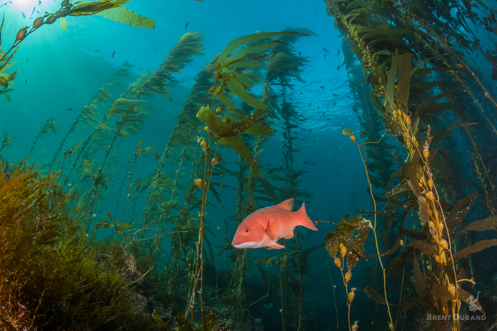 A female sheephead swims through the towering kelp forest at Anacapa Island in California's Channel Islands National Park.