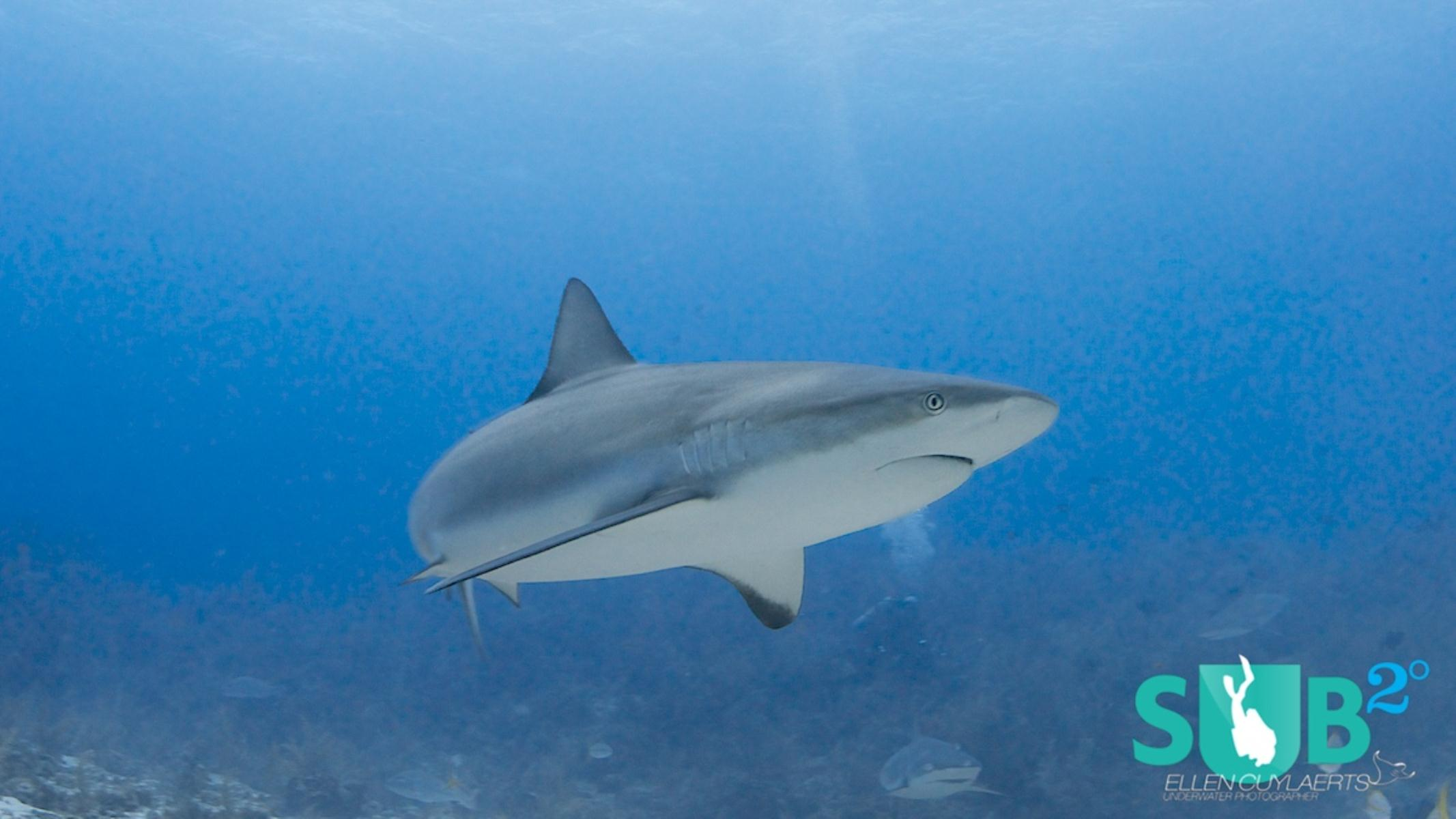 If you are lucky reef sharks wander on the sandy patches close to the wall!