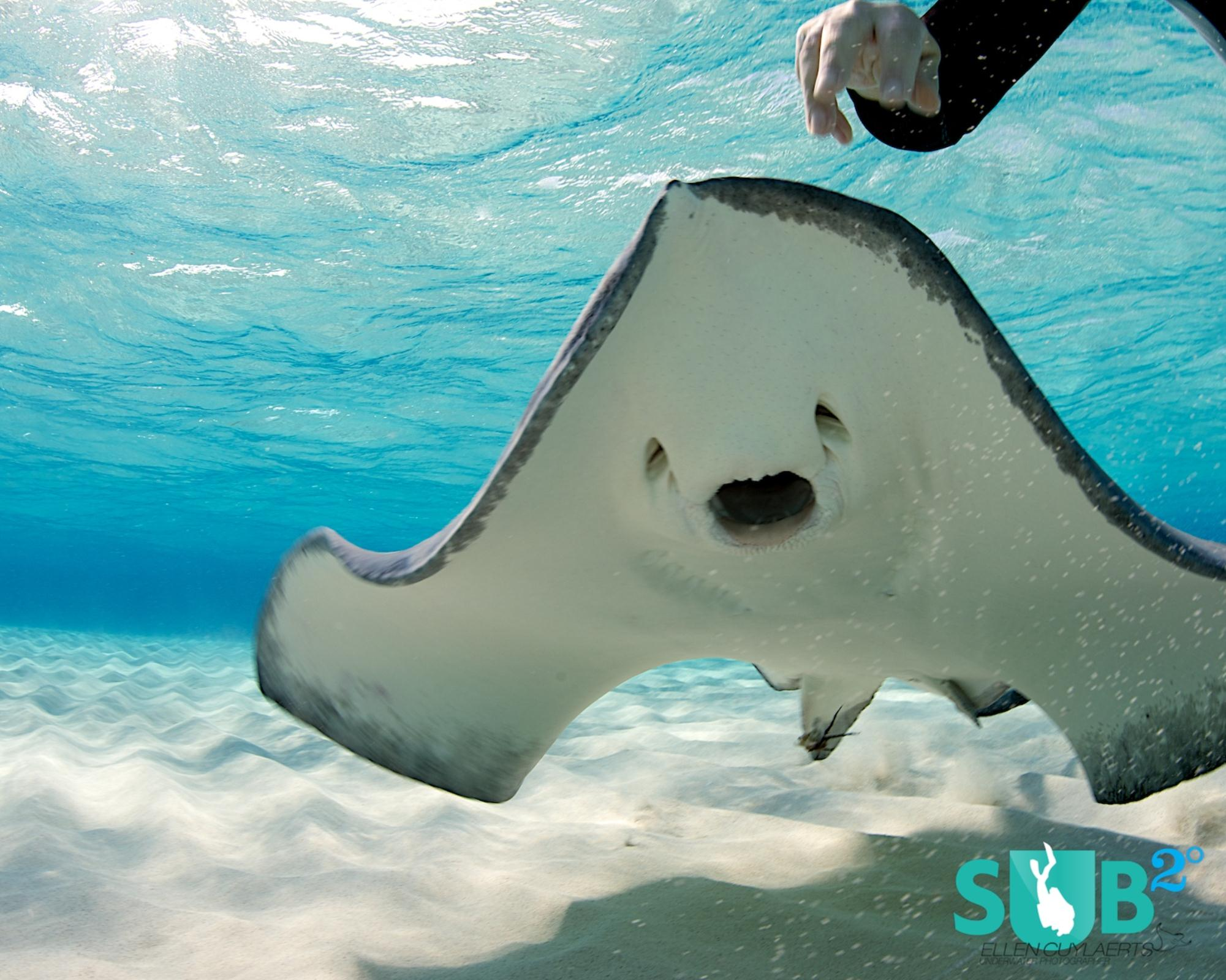 Stingrays usually graze on the sandy bottom and when they find a mollusk, their stubby teeth are strong enough to crack the shell.
