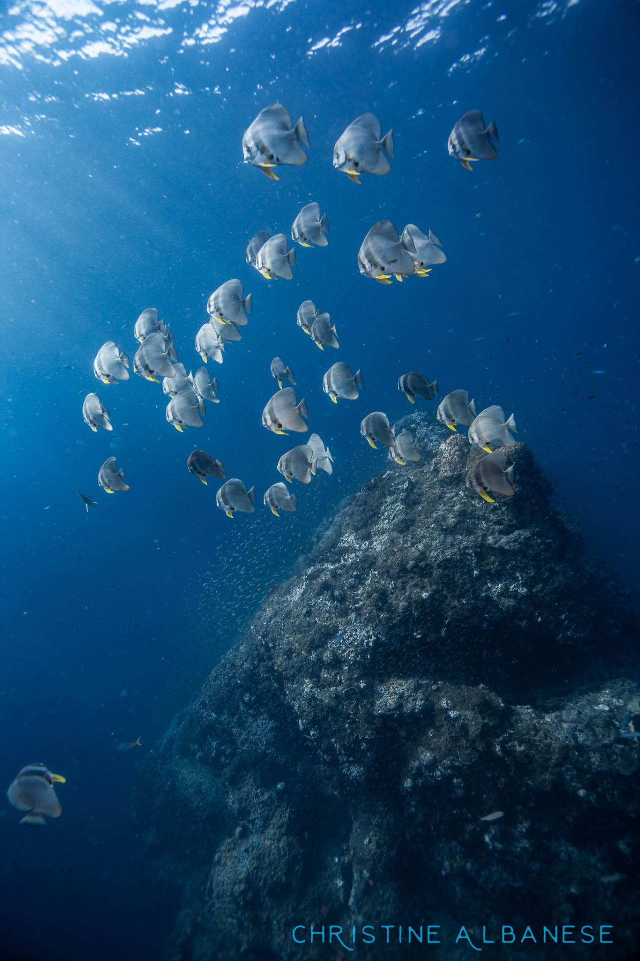 A school of batfish are hanging out in the rays of sunlight just off a small pinnacle at Sailrock. Batfish are incredibly friendly animals whom are quite curious about divers - some individuals will make very close passes just to check you out. 😋
