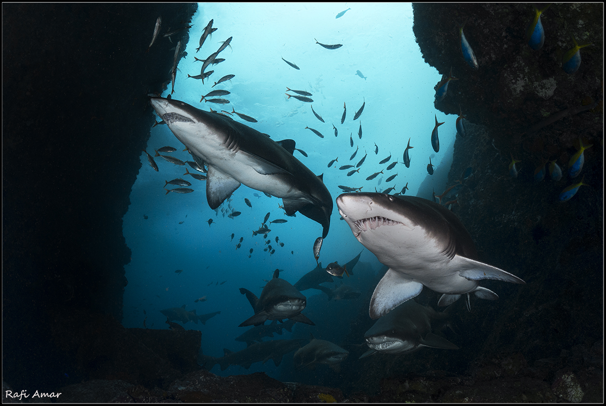 Cave of the Sharks. graet nurse shark..