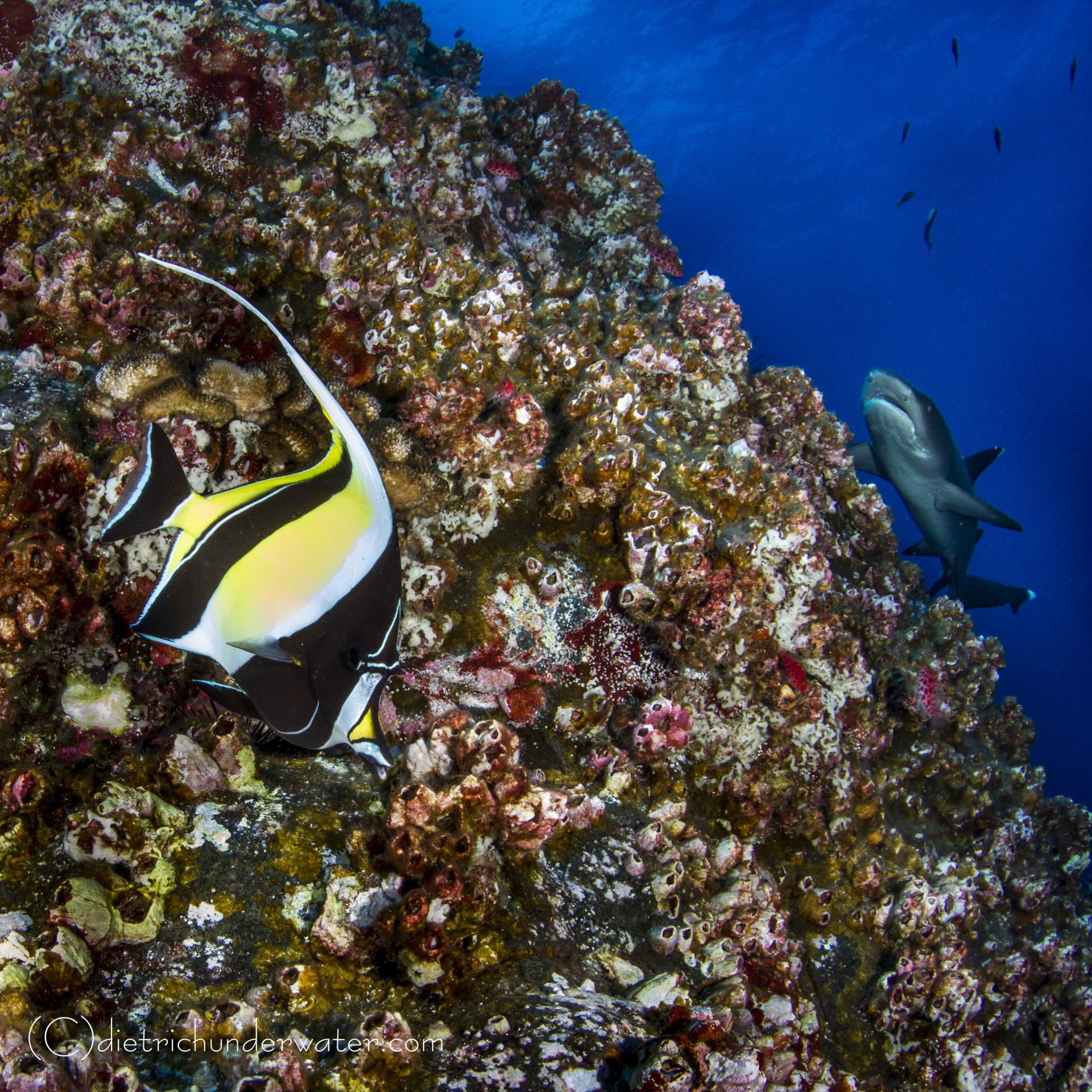 Beauty & the Beast:  a great image of a Moorish Idol and Whitetip shark against a beautiful reef.