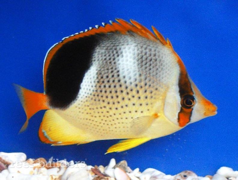 chaetodon-tinkeri-quadrimaculatus-hybrid-1