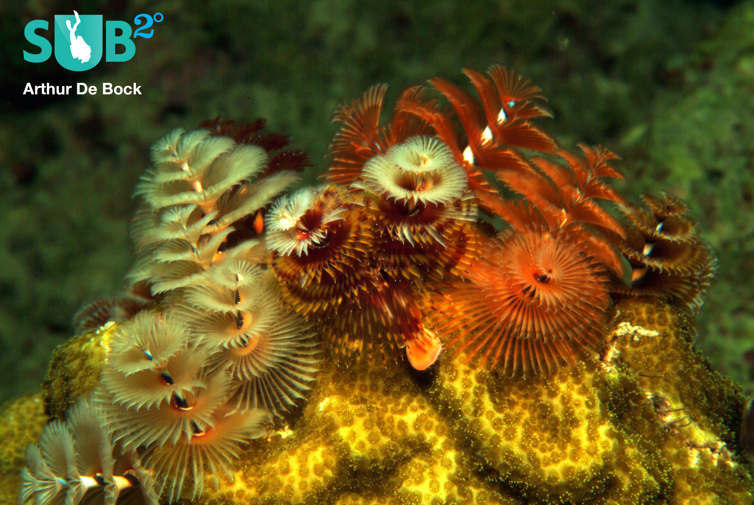 A coral reef just wouldn't be the same without Christmas Tree Worms (Spirobranchus giganteus).