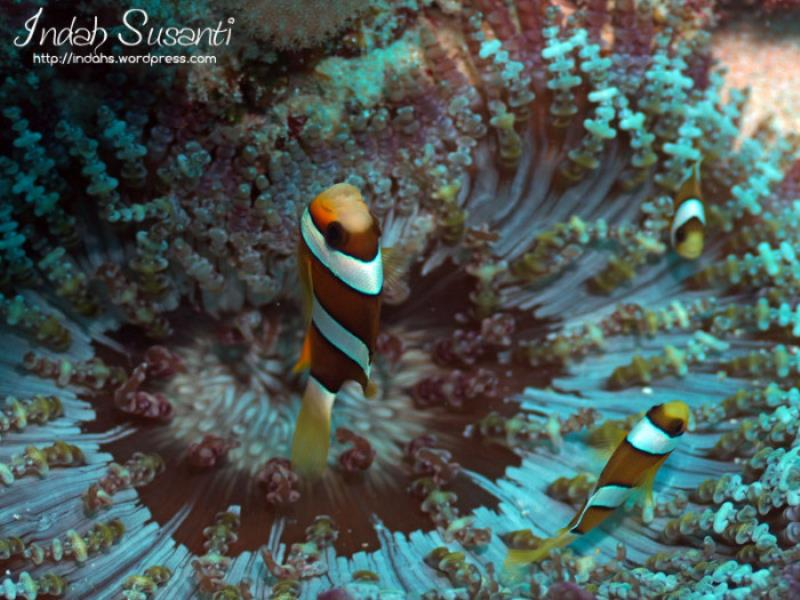 clarks-anemonefish-wordpress-3