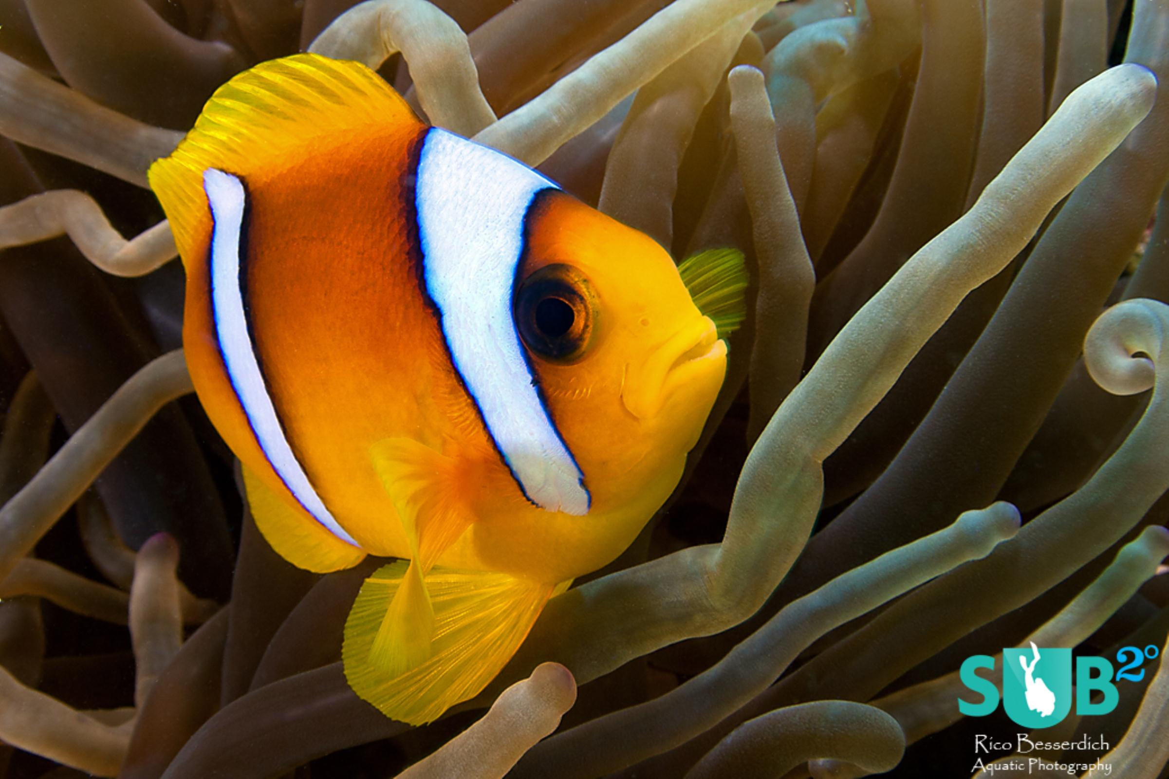 Anemonefishes are often hiding in their anemone but they come out frequently to check if you are still there.
