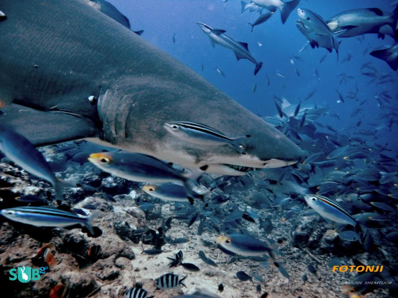 Close Encounters with Resident Bull Shark