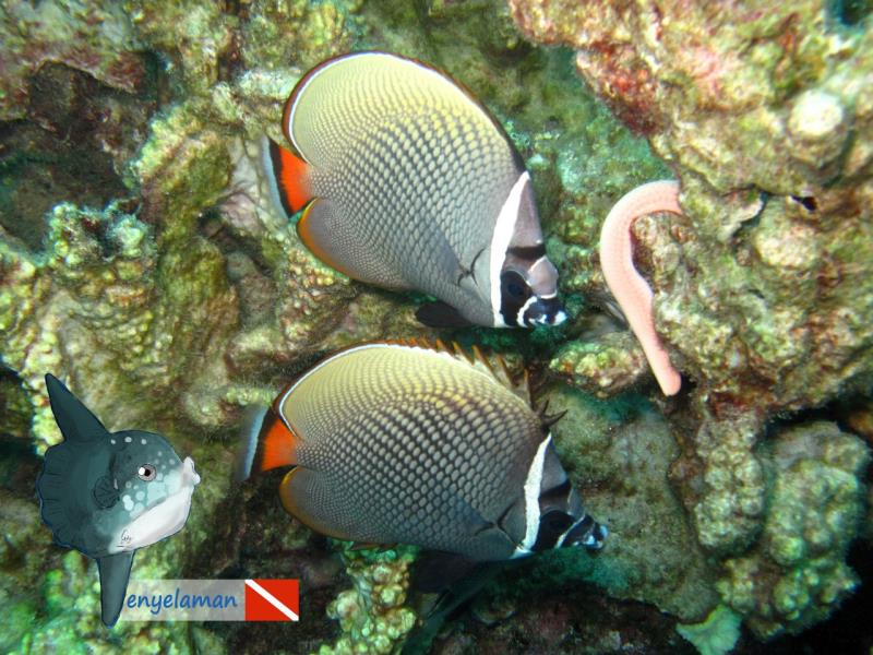 Colare Butterflyfish