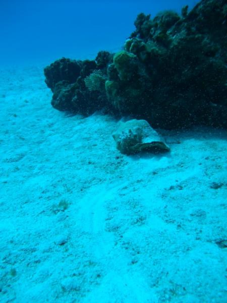 Conch on the Reef