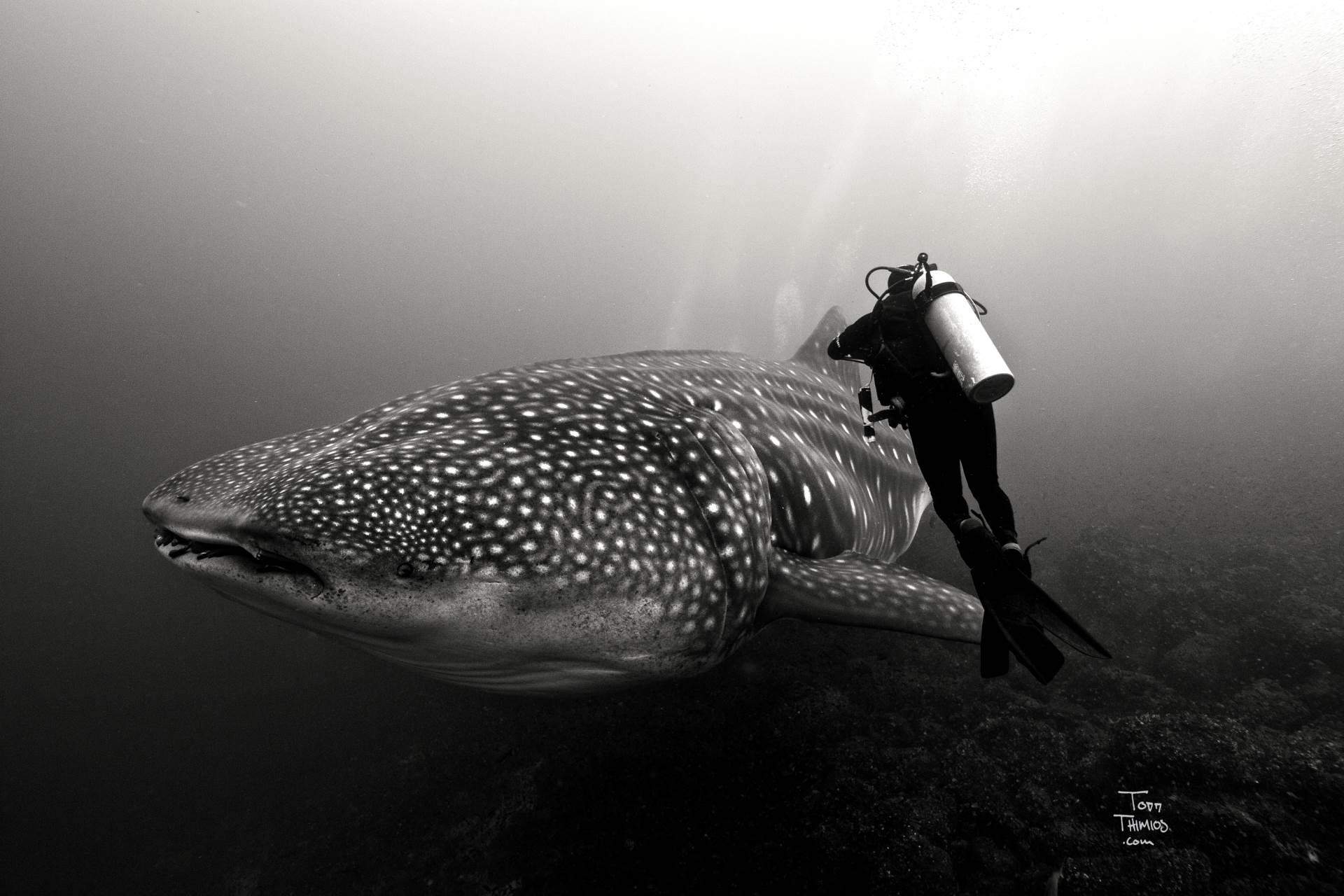 An incredible moment with the biggest whale shark I've ever seen emerge from the depths and leave us all in awe. http://www.toddthimios.com/shopgallery/