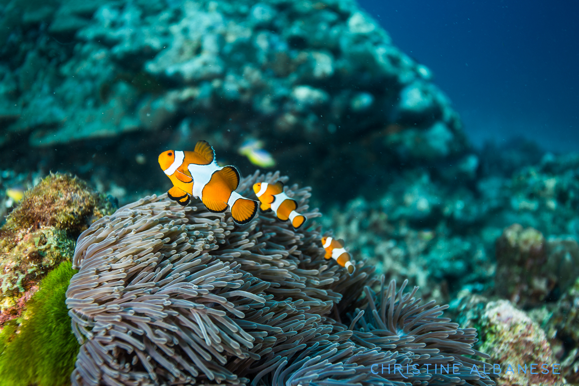 "The Similans is full of biodiversity! Here is a trio of clown fish (Amphiprion Percula) - or known to many simply as ""Nemo"" 😉 I liked this photo because of the way the clown fish look copy/pasted."