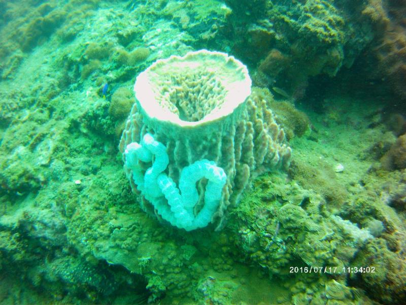 Coral Cucumber