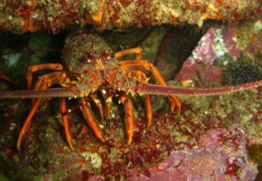 crayfish1
