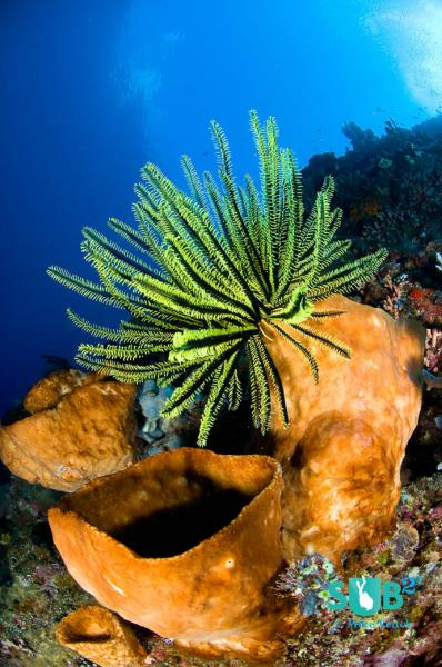 Crinoid on a Sponge