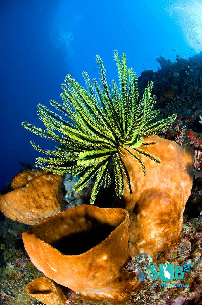 Crinoids are often found perched on sponges and soft corals in order to access more plankton carried by currents.