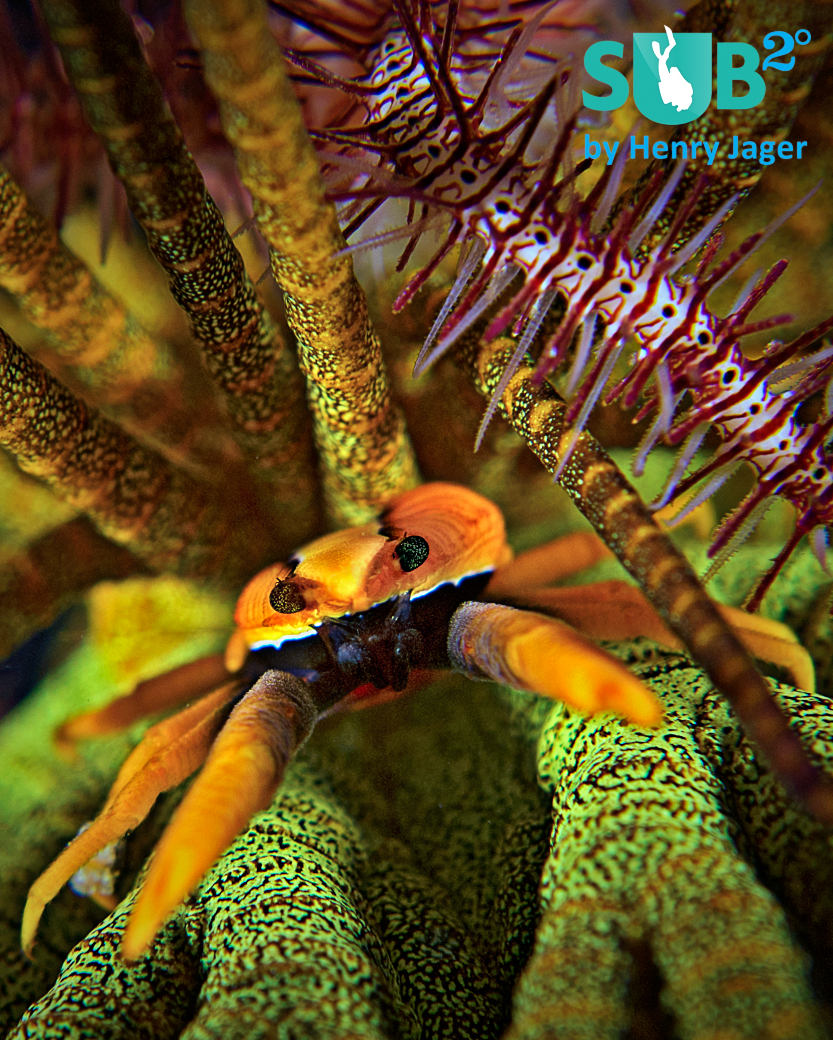 Beautiful colors on the night dive. A crinoid squat lobster was hiding under a feather star.