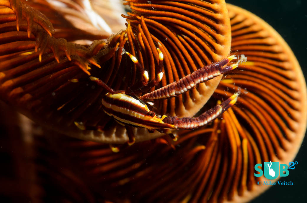Squat lobsters live among the arms of crinoids for protection and as a food source.