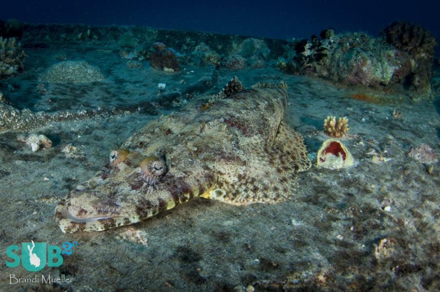 Crocodilefish