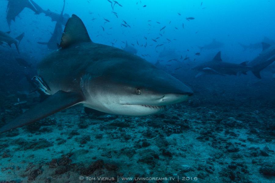 Curious Bull Shark