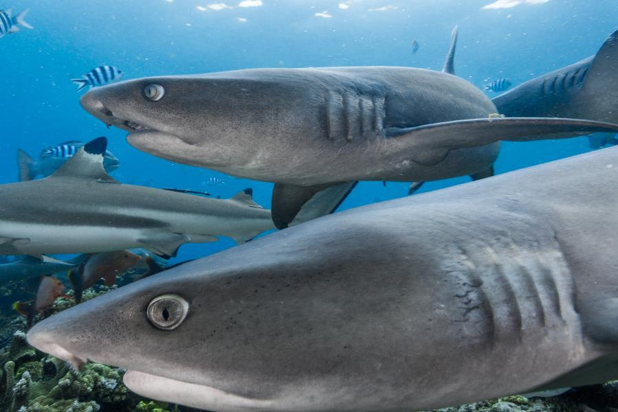 Curious Whitetip Reef Sharks