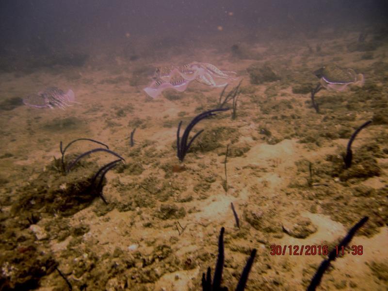 Cuttlefish 1