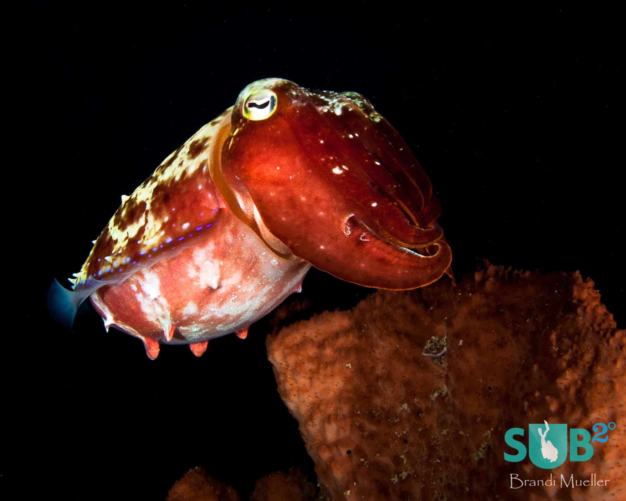 A cuttlefish tries to blend in with a sponge.  Once it knew it was found it flashed many colors including reds, yellows, and blues.