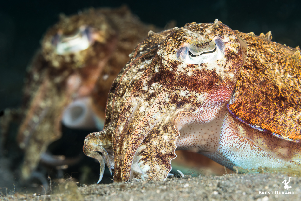 A pair of cuttlefish lay calmly on the sand as I slowly approach, fire a couple frames and just as calmly swim back away.