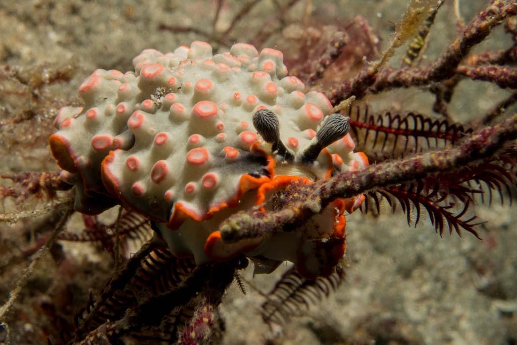 Special Nudibranch (Dermatobranchus ornatus) in Timor Leste
