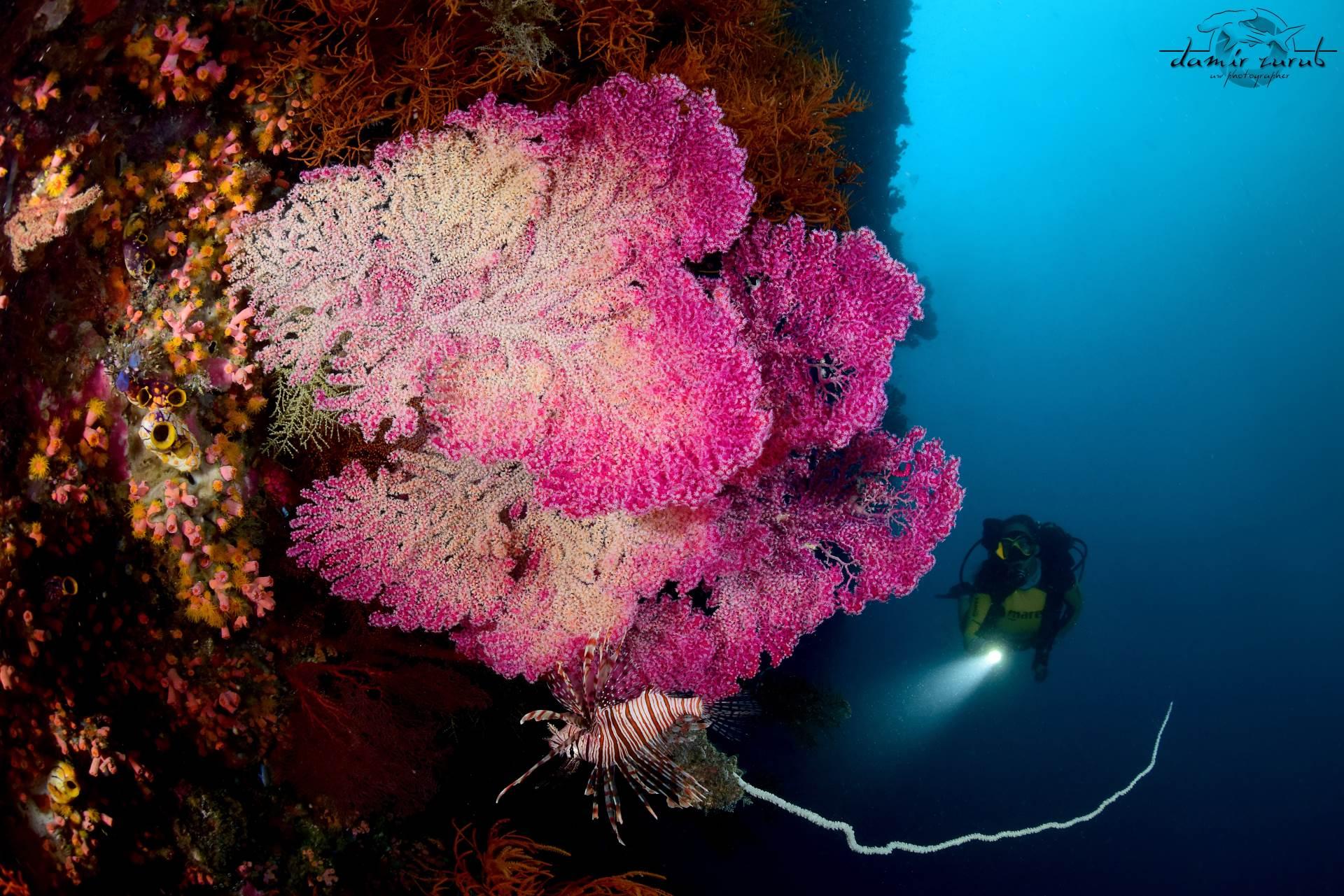 Lion fish & sea fans.  Courtesy of Damir Zurub of Klub putnika istraživača Odisej