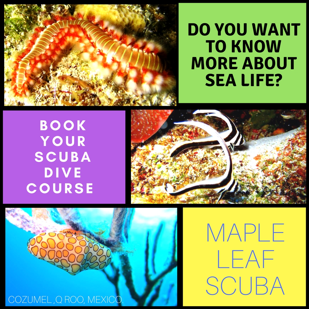 The underwater world is simply amazing with so much marine life, beautiful colors, and an array of stunning coral. Come and see how beautiful it really is. Discover a new world underwater. Book your dives today. info@mapleleafscuba.com