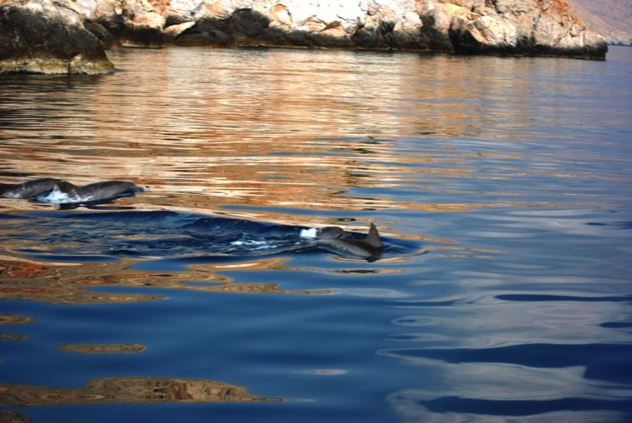dolphins at musandam