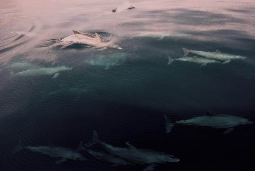 dolphins musandam trip 1