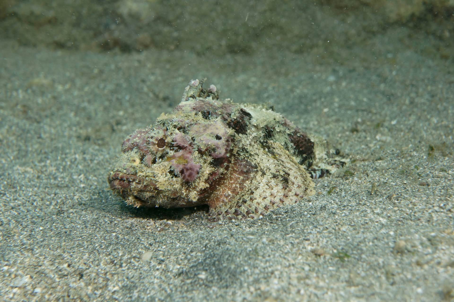 please feature this on your instagram (photo credit goes to @photographylife.4u)  a nevisian scorpianfish