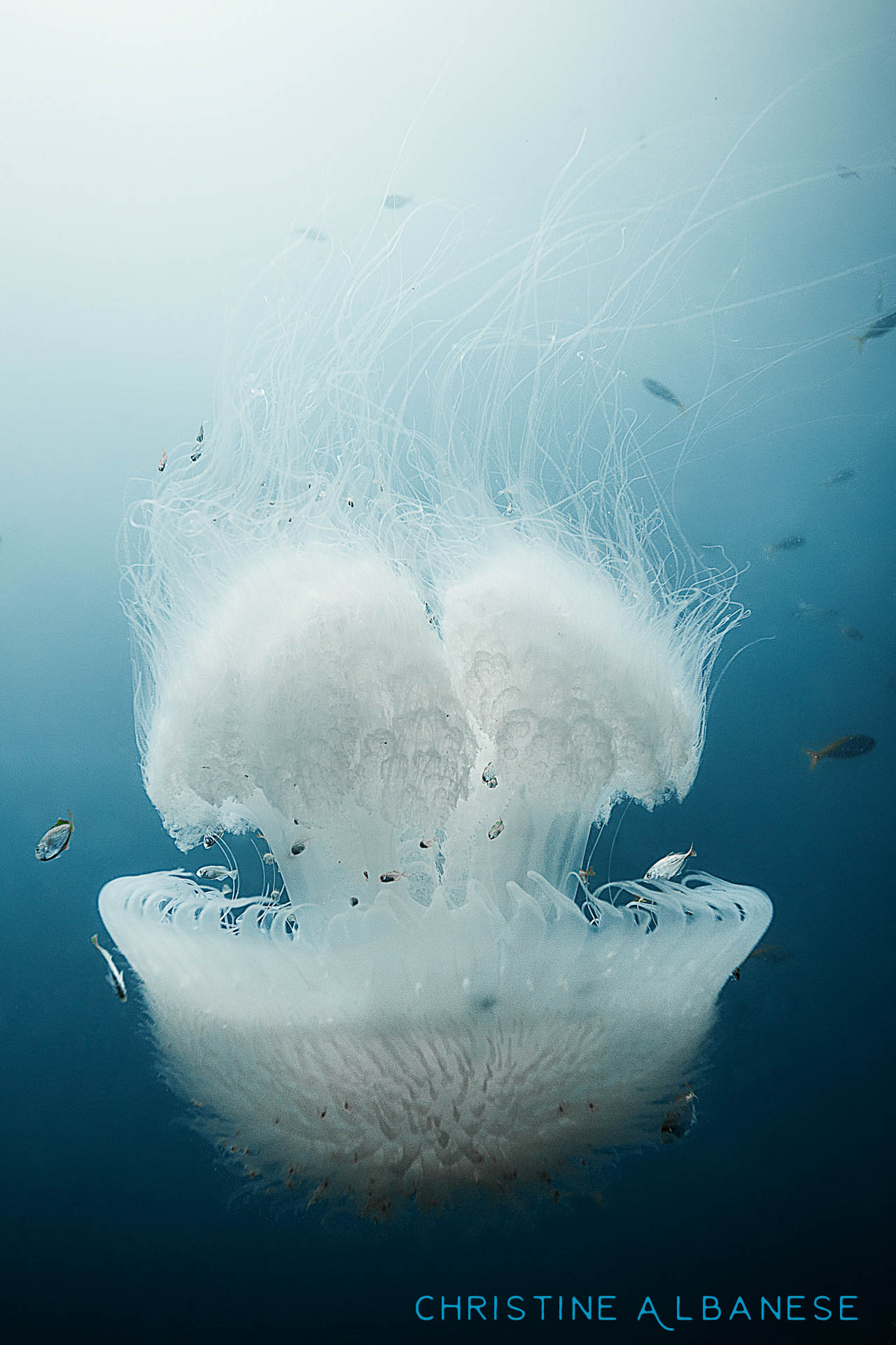 Have I mentioned just how much I love jellyfish? They are so photogenic! This one was spotted in the middle of the water column at around 15 meters depth between Hin Pee Wee and White Rock dive sites.