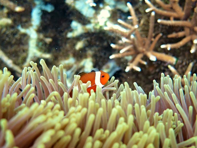 False Anemone Clownfish