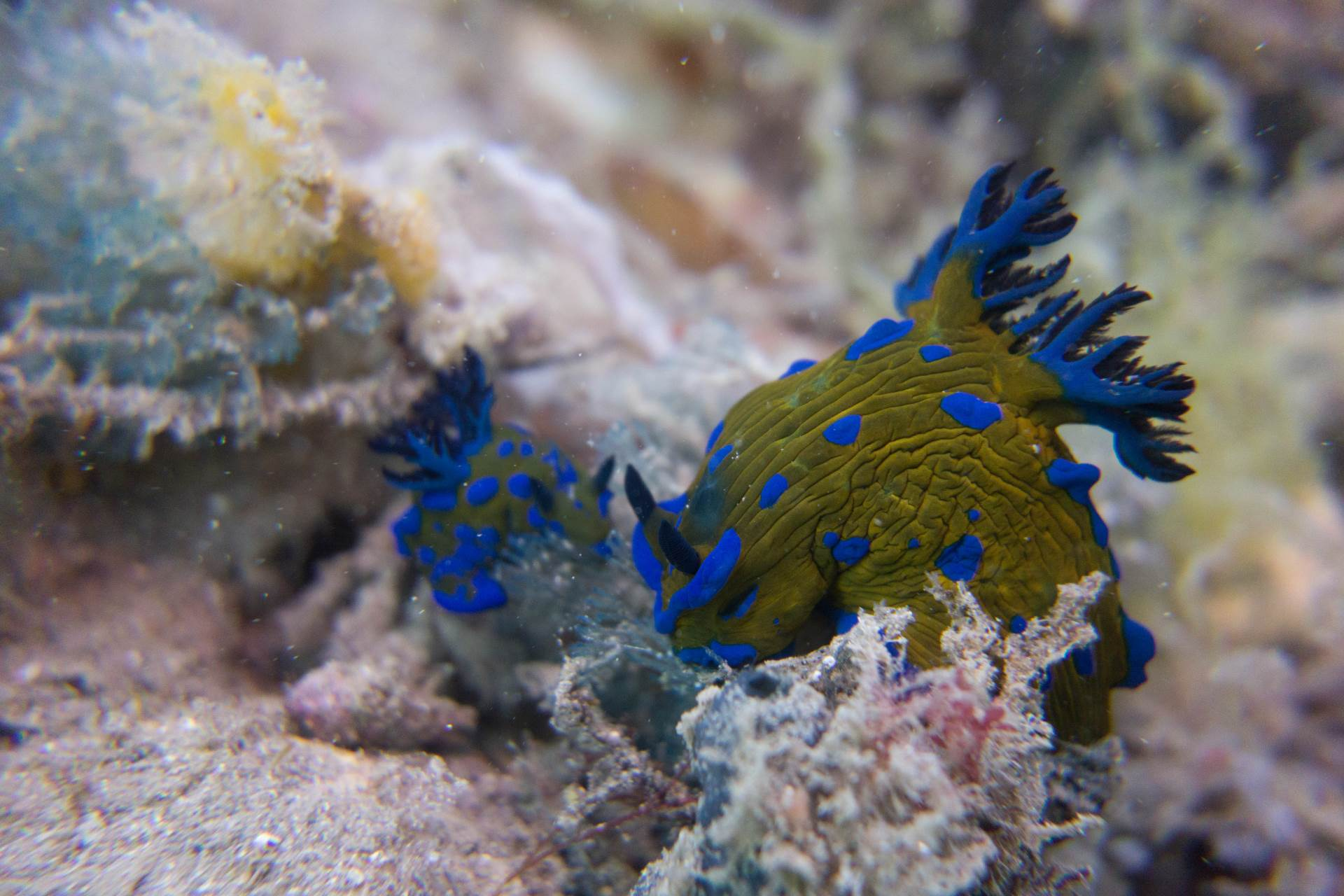 Verco's nudibranch feeding on some bryozoans