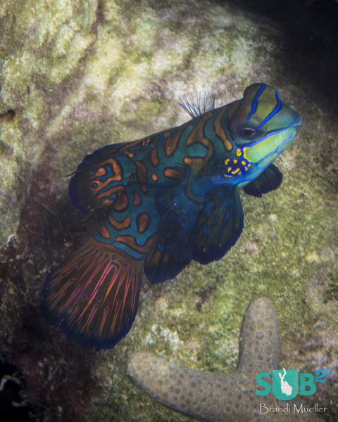 Female Mandarinfish