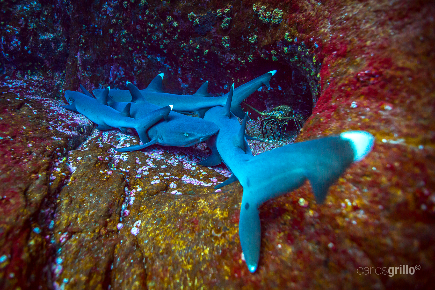The rest of the white tip reef sharks.