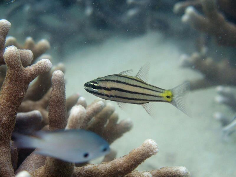 Fivelined Cardinalfish