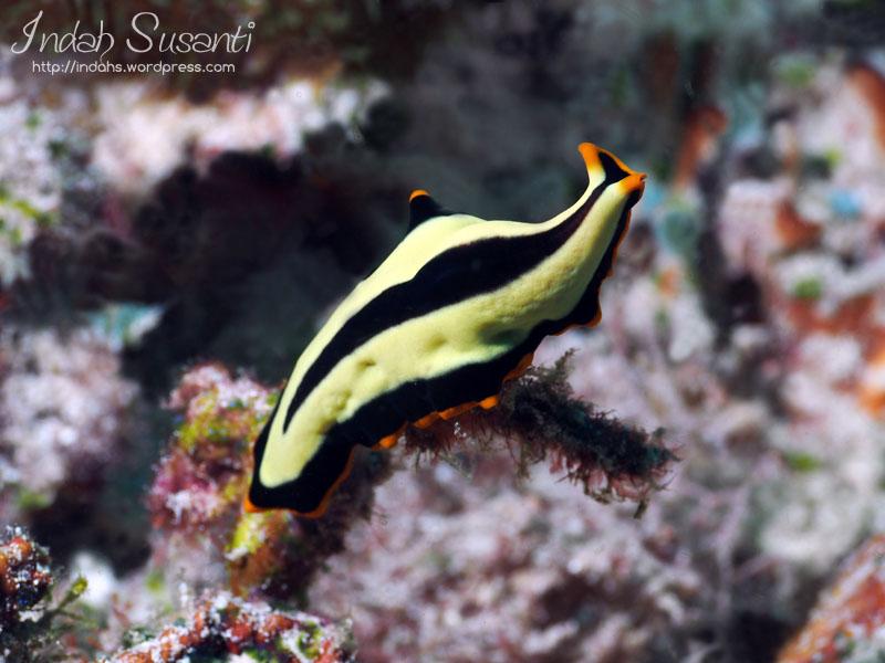 Pseudoceros Dimidiatus - flatworm
