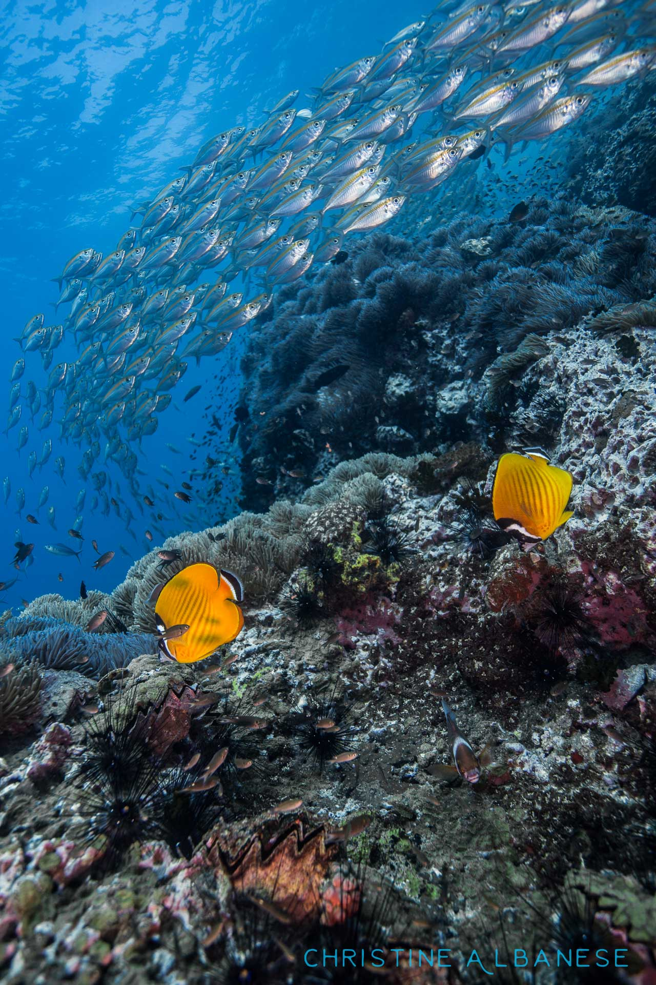 A pair of butterfly fish wander the reef while a school of scad blazes by.  Butterfly fish are common reef fish around here... but I adore photographing them because their bright yellow colour stands out so well against a rich blue background.