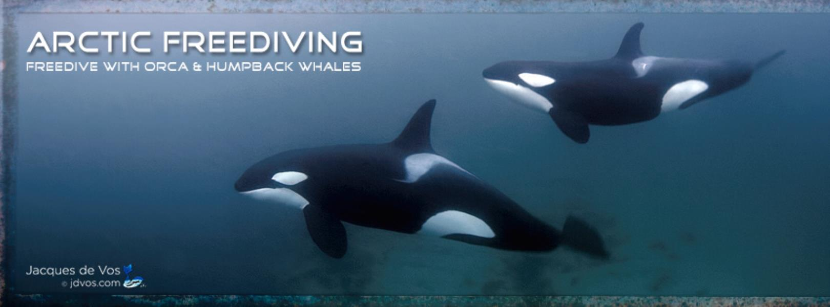 Freedive With Orca & Humpback Whales