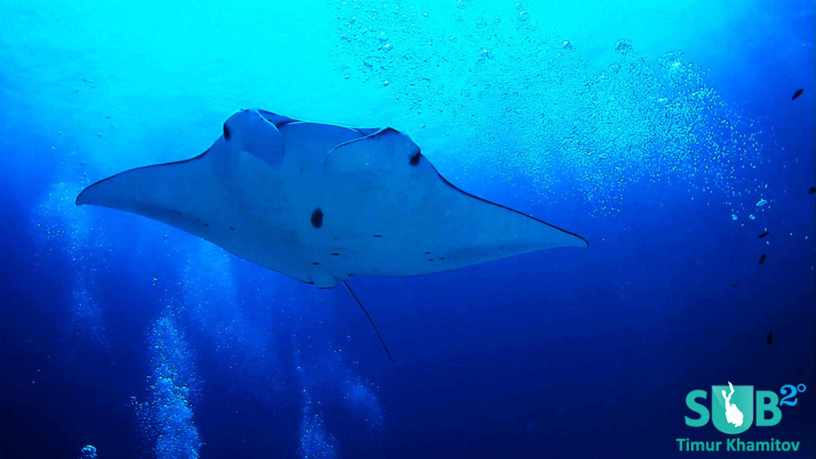 Beautiful encounter with a Manta on a feeding station.