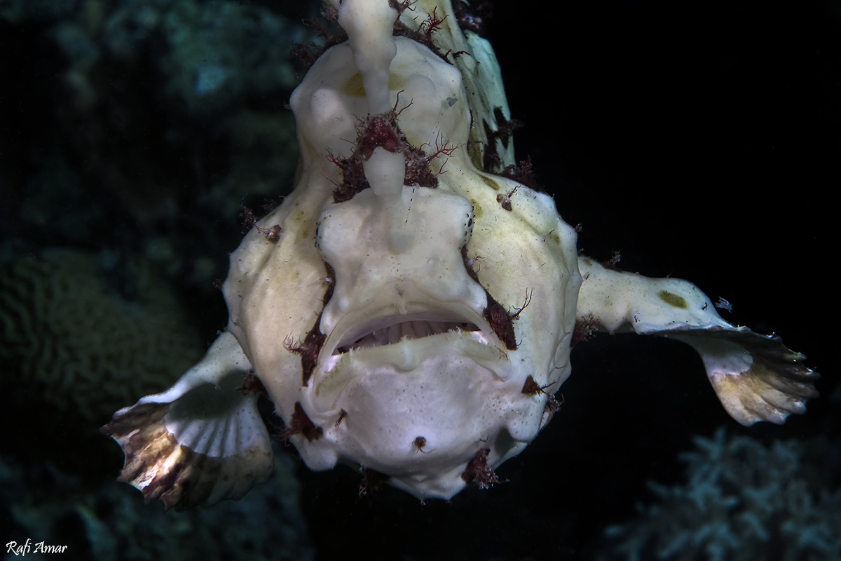 Frogfish Swimming