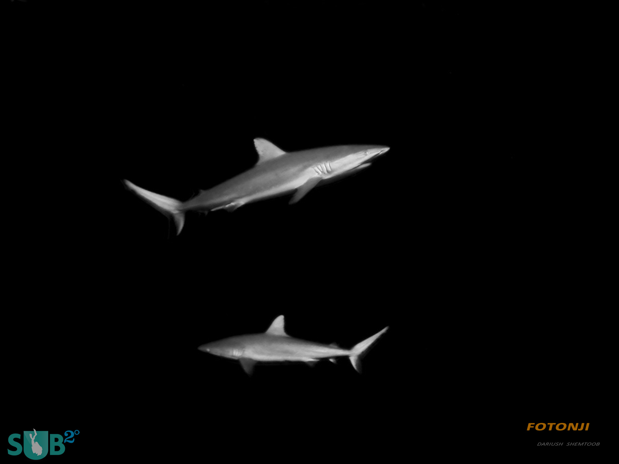 Pair of reef sharks patrolling the outer reef at Dusk