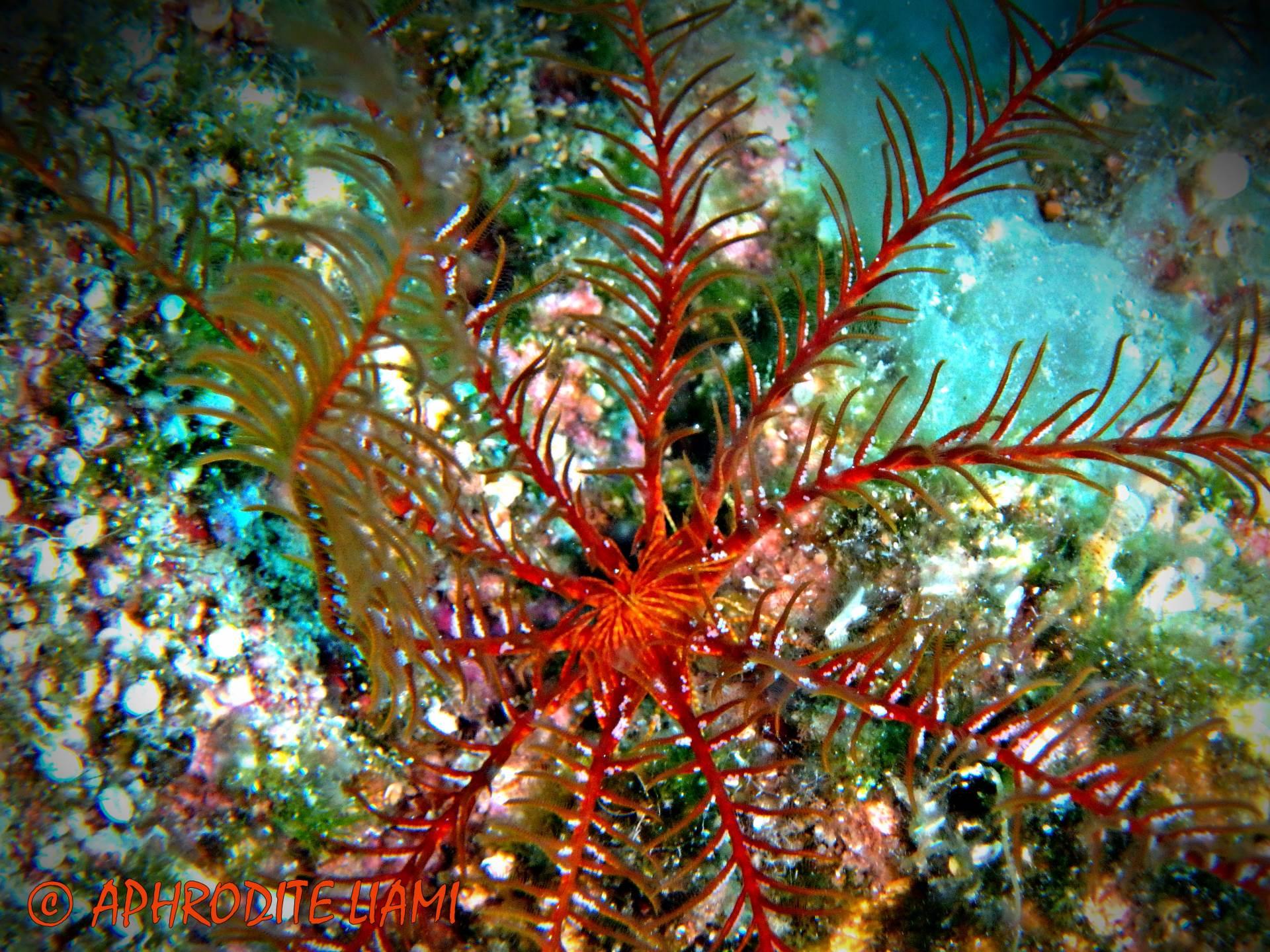 #scubadiving #scuba #diving #marinelife #sealife #sea #aegeansea #star #seastar #featherseastar #starfish #giantdoris #crab #fish #worm #flabellina #animal #kos #kosisland #greece #hellas #underwater #underwaterphotography #holiday #ecology #enviroment #liamisdivecentre