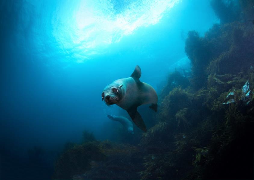 Fur Seals Tasmania